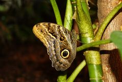 Butterfly Caligo memnon sitting on a stalk of a tropical plant. Butterfly Caligo memnon giant owl or pale owl on a stalk of a tropical plant on a dark background Royalty Free Stock Photos