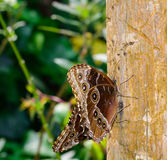 Butterfly Caligo Stock Image