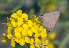 A butterfly. This butterfly called Rapala manea schistacean.It is resting on yellow flowetrs stock image