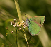 Butterfly (Callophrys rubi ) Stock Photos