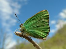 Butterfly. Callophrys rubi. Royalty Free Stock Images