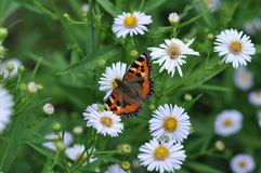 Butterfly on a camomile. Butterfly eats nectar of garden camomiles. July, the Central Russia Royalty Free Stock Image
