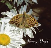 Butterfly and camomile-engl. Colorful butterfly on a white camomile stock illustration