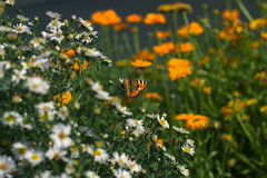 Butterfly on camomile. With flowers of calendula Royalty Free Stock Photos