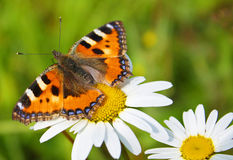 Butterfly & camomiles Stock Photos