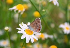 Butterfly & camomiles. The butterfly on camomile. The butterfly on a flower. Camomiles Stock Photography