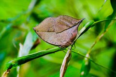 Butterfly Camouflage - The orange oakleaf or dead leaf butterfly Stock Photos