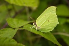 Butterfly camouflaged by leaf Royalty Free Stock Photo