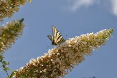 Canadian tiger swallowtail stock photo
