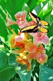 Butterfly and   canna Stock Image