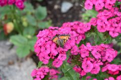 Butterfly on carnation royalty free stock image