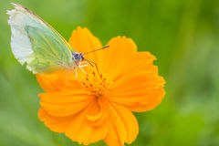Butterfly catch on yellow Cosmos flowers Stock Images