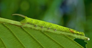 Butterfly caterpillar Royalty Free Stock Photo