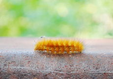 butterfly caterpillar Royalty Free Stock Photography