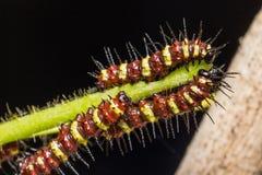 Butterfly caterpillar Stock Photo