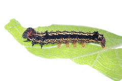 Butterfly caterpillar on green leaf Royalty Free Stock Photos