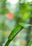 Butterfly caterpillar on lemon tree, close up. A Butterfly caterpillar on lemon tree, close up Royalty Free Stock Photo