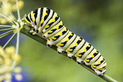 Butterfly caterpillar Stock Image