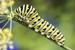 Butterfly caterpillar Stock Image