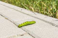 Butterfly caterpillar on paving stones Stock Photography