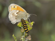 Butterfly and caterpillar Royalty Free Stock Images