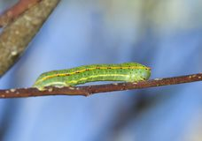 Butterfly caterpillar stock images