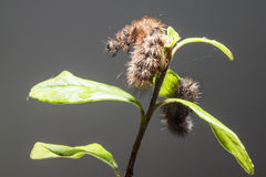 The Ruby Tiger caterpillars Stock Photography