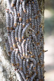 Butterfly caterpillars take up a defensive position on a tree trunk, reservations Tsingy, Ankarana, Madagascar. The butterfly caterpillars take up a defensive Royalty Free Stock Images