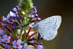 Butterfly celastrina argiolus stock photography