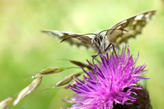 Butterfly on centaurea Stock Images