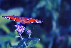Butterfly on centaurea flowers. Summer field background Royalty Free Stock Image