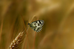 Butterfly on cereals. In the foreground with a blurred background Royalty Free Stock Photo