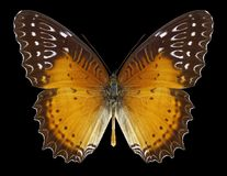 Butterfly Cethosia biblis royalty free stock photography