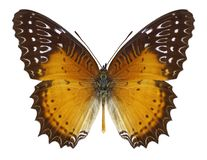 Butterfly Cethosia biblis stock photos