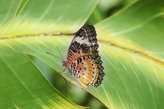Butterfly resting on a leaf royalty free stock images