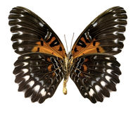 Butterfly Cethosia obscura antippe (Clipping path) royalty free stock photo