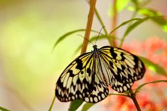 Butterfly, Ceylon Tree Nymph (Idea iasonia) Royalty Free Stock Image