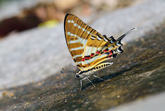 Butterfly (Chain Swordtail) , Thailand Royalty Free Stock Photo