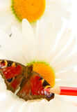 Butterfly, chamomile and color pencil Stock Photography