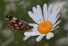 Butterfly on chamomile royalty free stock image