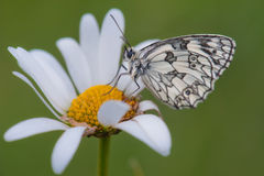 Butterfly. On the chamomile flower Stock Photography