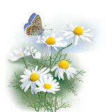 Butterfly and Chamomile. Hand drawn vector illustration of Adonis blue butterfly and Chamomile Matricaria chamomilla an aromatic wild flower, used as tea Stock Photos