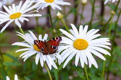 Butterfly on chamomile Stock Photography