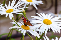 Butterfly on chamomile Stock Photo