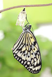 Butterfly change form chrysalis Stock Image
