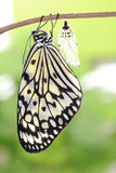 Butterfly change form chrysalis Stock Images