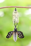 Butterfly change form chrysalis. Amazing moment about butterfly change form chrysalis stock photography