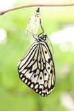 Butterfly change form chrysalis Stock Photos