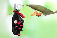 Butterfly change form chrysalis. Amazing moment about butterfly change form chrysalis - Byasa polyeuctes royalty free stock photo