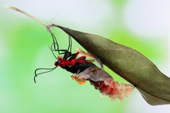 Butterfly change form chrysalis Royalty Free Stock Image